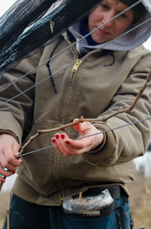 Kristina Rose works on wraping the cane around the fruiting wire.
